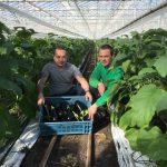 Eerste biodynamische aubergines 2017