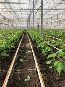 Biologische komkommerplanten in de volle grond